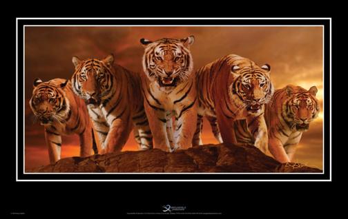 Tigers-(2).jpg